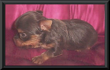 Yorkshire Terrier Club Of Ethical Hobby Breeders | Dog Breeds Picture