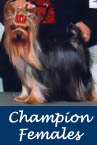 AKC Champion Yorkie Females
