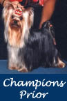 AKC Champion Yorkies