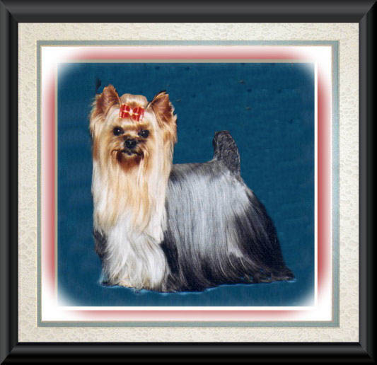 Can Am Commander For Sale >> AKC Yorkies, Yorkshire Terriers, Champion Yorkie males