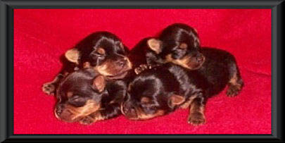 Pile of Yorkie Puppies
